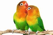 طائر الحب للبيع
