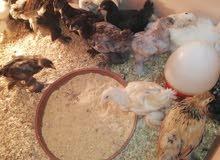 دجاج صوص براهما