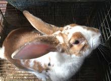 بيع سلالات ارانب