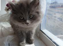 قطط هيمالايا للبيع متبقي انثى رمادي فقط الحجز ممنوع