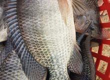 سمك حي يباع مباشرا داخل المزرعة مع وجود خدمة التنظيف مشط أوزان 400-600غم