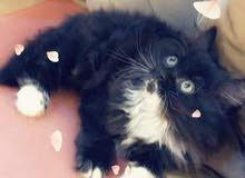 قطط هملايا للبيع  توصيل محافظات