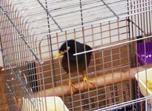 Bird (Myna) For Sale
