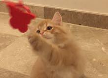 للبيع عدد 2 قطط شيرازي بصفه عاجله