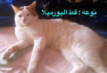 قطط للتبني مجاناً ذكورة اعمارهم من 8اشهر للسنة ونص