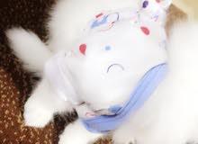 قطة انثى شيرازي الُعمر شهرين مع دفتر اللقاح واغراضها