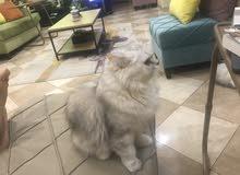 قطط شيرازية منتجة للبيع بجدة