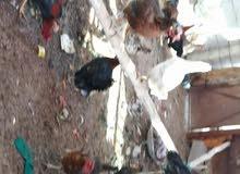 السلام عليكم دجاج عرب وهندي للبيع للاتصال وات ساب 07712470939
