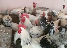 دجاج فرنسي الكولومبي بيور وبيض مخصب