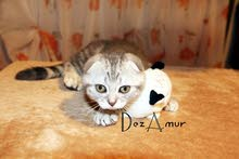 Scottish Fold Marble