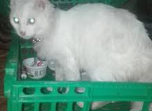 قطه شيرازي نخب اول لعوبه ومطيعه