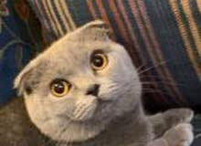 A Scottish Fold Ear Cat for Sale!