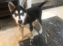 husky 4 months old