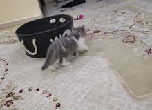 قط كيتن مهجن للبيع