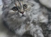 قطة شيرازية إنثى للبيع