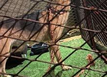 جيرمن شبرد مهجن ب بيت بول الكلب اليف العمر سنه و شهرين تقريبن مطلوب 2500