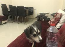 Mix husky lebrador female dog