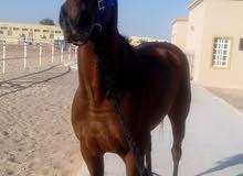 حصان بصحه ممتازه ثربرد. العمر 6