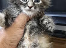 قطة شيرازي نثية العمر 3 اشهر