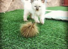 قط راغدول صغير