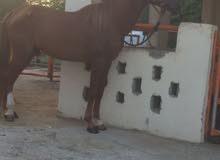 حصان مهجن ممتاز
