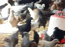 1000دجاجه عربيه نسبه الفروج20%