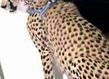 مطلوووووب الفهد (تيشا) او اسد صغير