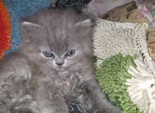 قطط شيرازي بيج ورصاصي واسمر
