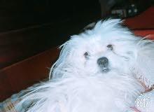 كلبة لولو للبيع