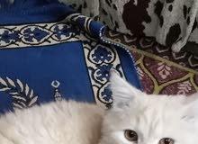 قط شرازي