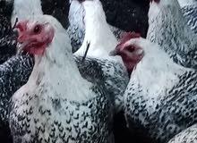 15 دجاجه فيومي بالصلاة على النبي مع 4 ديوك فيومي