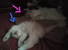 قطط شيرازي مع تركي (ذكور)