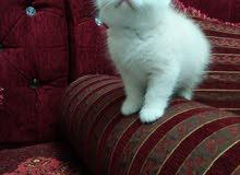 شهرين ذكر قطة جميلة وكيوووت