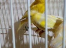 طيور للبيع كنارات بلدي و بلجيك واغات اجنبيواقفاص ومستلزمات طيور