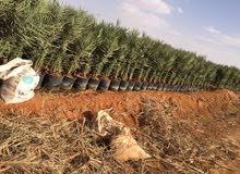 نخيل عربى  وامريكى  أشجار مثمره  تيل نباتات الزينة