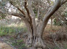 بيع اشجار زيتون عمر 30سنه