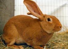 ابحث عن ارانب للبيع