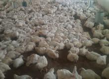 دجاج اصيل خنيفرة اكلموس