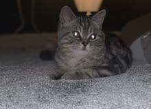 beautiful American shorthair male for mating  للنزاوج فقط