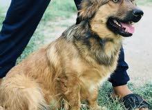 كلب مهجن ابو جيرمن وام بلدي ( انثى) عمر سنة