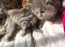 قطط العمر شهرين