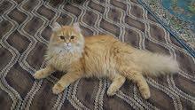 قط شيرازي نقي للبيع