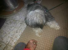 كلب تيرة فرنسي