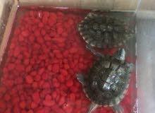 سلاحف للبيع turtles for sale
