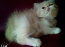 للبيع قطه شيرازي بيرشن زورار 50 يوم