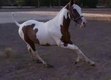 حصان ملون
