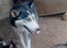كلب الاسكا ذكر وانثى للبيع العمر سنه