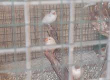 طائر الزيبرا