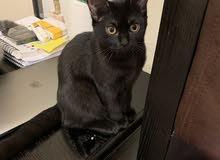 قطة 4 شهور مطعمة مع جواز سفر للبيع