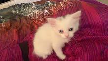 قطه شيرازيه أنثى